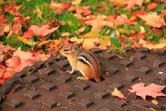 Piccolo scoiattolo sulla copertura di botola Immagini Stock