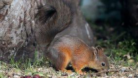 Piccolo scoiattolo sveglio video d archivio