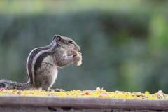 Piccolo scoiattolo sveglio Fotografie Stock Libere da Diritti