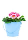 Piccolo secchio dei fiori della primaverina Fotografia Stock Libera da Diritti