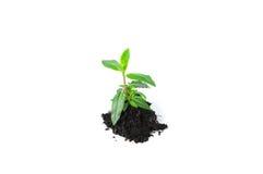 Piccolo semenzale su bianco Fotografie Stock