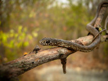 Piccolo serpente Immagine Stock Libera da Diritti
