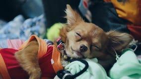 Piccolo sonno del cane Immagine Stock