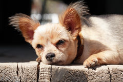 Piccolo sonno del cane Fotografia Stock