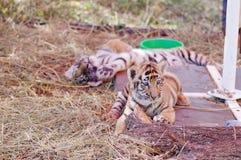 Piccolo sonno della tigre di Bengala del bambino due immagine stock libera da diritti