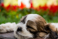 Piccolo sonno sveglio del cane fotografia stock