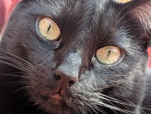 Piccolo sorveglianza del gatto nero immagine stock