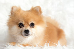 Piccolo spitz del cane Fotografia Stock