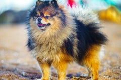 Piccolo Spitz del cucciolo sta nella piena crescita sui precedenti della sabbia e della spiaggia cane sorridente divertente con u fotografia stock libera da diritti