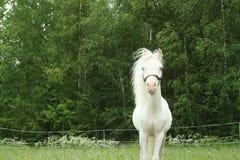 Piccolo stallion bianco puro Fotografia Stock Libera da Diritti