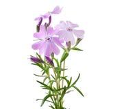 piccolo subulata del bello phlox dei fiori Immagine Stock