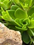 Piccolo succulente fotografia stock
