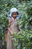 Piccolo tè di raccolto della ragazza nel campo Fotografie Stock Libere da Diritti