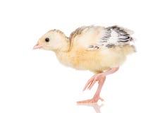 Piccolo tacchino del pollo Immagine Stock