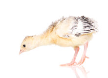Piccolo tacchino del pollo Immagini Stock