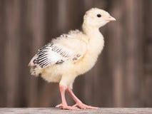 Piccolo tacchino del pollo Fotografia Stock
