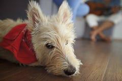 Piccolo terrier scozzese che mette sul pavimento di legno Fotografia Stock Libera da Diritti