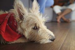 Piccolo terrier scozzese che si siede sul pavimento di legno Fotografie Stock Libere da Diritti