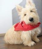 Piccolo terrier scozzese che si siede sul pavimento di legno Fotografie Stock