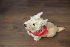Piccolo terrier scozzese che si siede sul pavimento di legno Immagini Stock