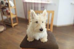 Piccolo terrier scozzese che si siede sulla sedia Immagine Stock