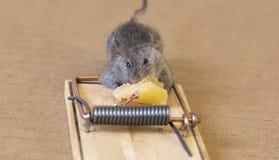 Piccolo topo che mangia un pezzo di formaggio fotografia stock libera da diritti
