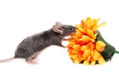 Piccolo topo del laboratorio con il fiore arancio Fotografia Stock Libera da Diritti