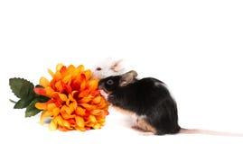 Piccolo topo del laboratorio con il fiore arancio Immagine Stock