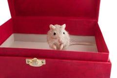 Piccolo topo grigio in un unguiculatus del Meriones della scatola Fotografia Stock