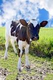 Piccolo toro sul prato fotografia stock