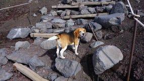 Piccolo trekking del cane alla montagna di Fuji immagini stock libere da diritti