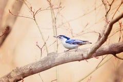 Piccolo uccellino azzurro Fotografia Stock