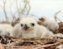 Piccolo uccellino implume Buzzard con le gambe lunghe Fotografia Stock