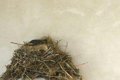 Piccolo uccellino implume nel nido vicino alla struttura della parete Immagini Stock Libere da Diritti