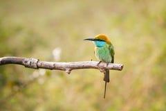 Piccolo uccello Immagine Stock Libera da Diritti