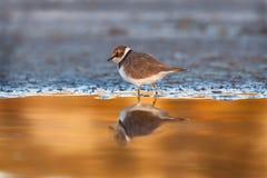 Piccolo uccello acquatico sveglio fotografia stock