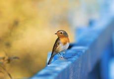 Piccolo uccello arancio sveglio e divertente Robin che si siede su un recinto di legno Immagini Stock