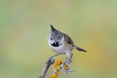 Piccolo uccello in bianco e nero in fauna selvatica Immagini Stock Libere da Diritti