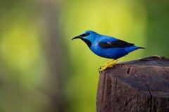 Piccolo uccello blu di lucidus brillante di Cyanerpes - di Honeycreeper con le gambe gialle nella famiglia del tanager immagine stock
