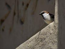 Piccolo uccello che guarda fuori da una parete immagine stock