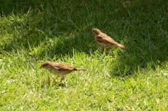 Piccolo uccello che si alimenta il prato inglese Fotografia Stock Libera da Diritti