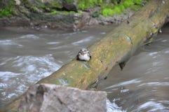 Piccolo uccello che si siede su un ceppo Fotografia Stock