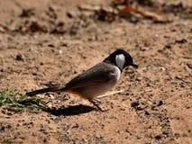 Piccolo uccello che sta sulla sabbia Fotografia Stock Libera da Diritti