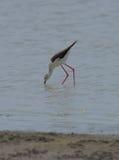 Piccolo uccello con le gambe esili in mare Immagine Stock