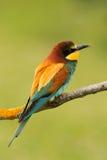 Piccolo uccello con le piume piacevoli Fotografie Stock