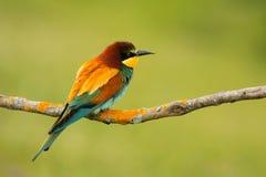 Piccolo uccello con le piume piacevoli Fotografia Stock