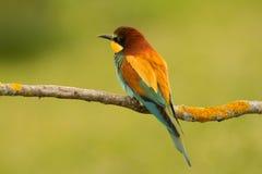 Piccolo uccello con le piume piacevoli Fotografie Stock Libere da Diritti