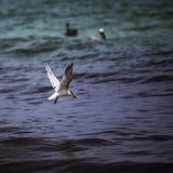 Piccolo uccello del gabbiano Immagini Stock Libere da Diritti