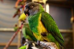 Piccolo uccello del pappagallo Immagine Stock