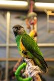 Piccolo uccello del pappagallo sul telefono Fotografia Stock Libera da Diritti